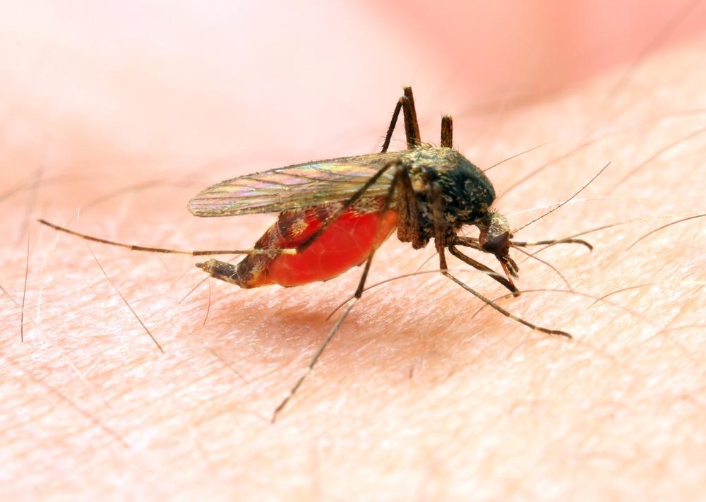 moustique malaria