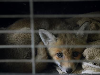 Que faire si vous trouvez un animal blessé ?